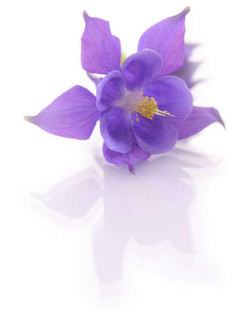 Campanula flower isolated on white backround Stock Photo