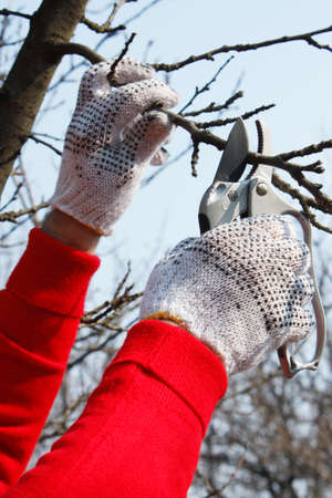 Hands with garden scissors while out pruning photo