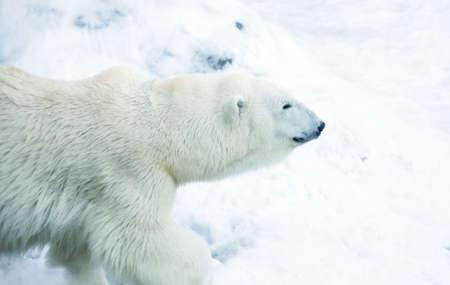 Polar bear in snow photo