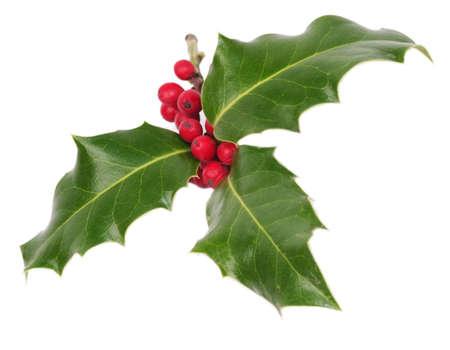 Holly tree isolated on white background photo