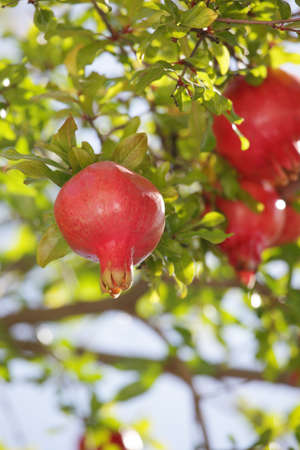 pomegranate branch with fruits photo