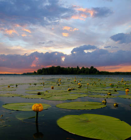 Water lily blossoms against evening sky