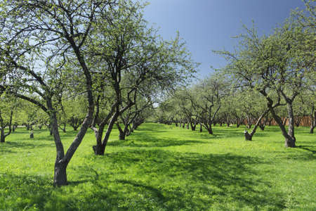 Sunny day in the apple garden at springtime Stock Photo - 9727375