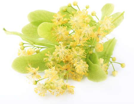 tilo: Flores Linden aisladas sobre fondo blanco