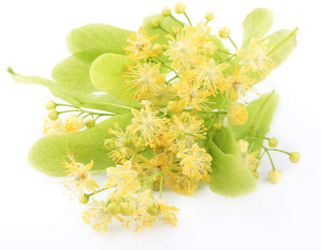 linden blossom: Linden flowers isolated on white background Stock Photo