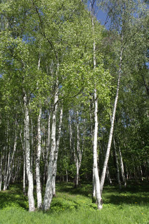 birchwood: Birchwood forest in a summer day