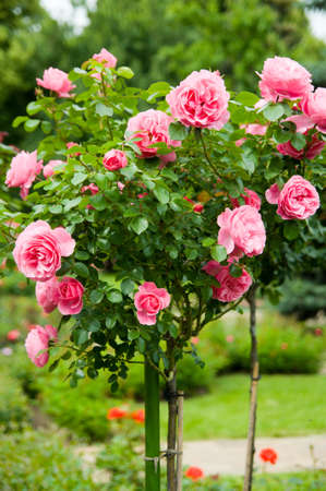 Standard pink roses in a garden photo