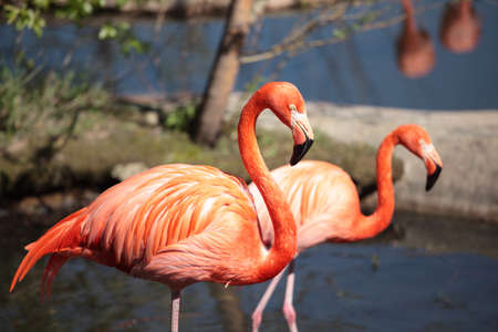 American Flamingos in the zoo photo