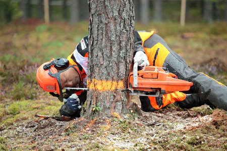 Raubichi, Minsk region, Belarus - August 25, 2012: Japanese Akita Mitsugi performs tree felling during World Logging Championship in Raubichi, Minsk region, Belarus at August 25, 2012