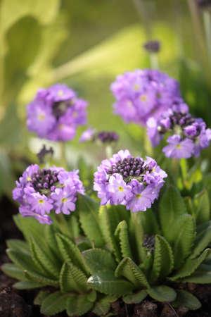 Primula flowers in garden photo