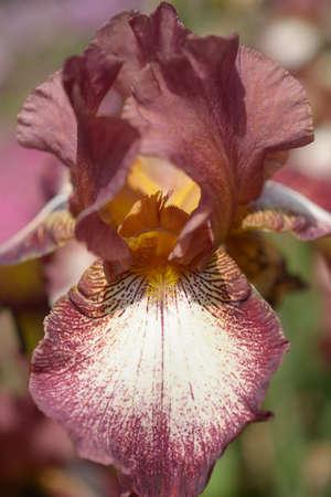 bearded iris: Flower of bearded iris closeup. Selective focus