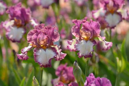 Flower of bearded iris closeup Фото со стока