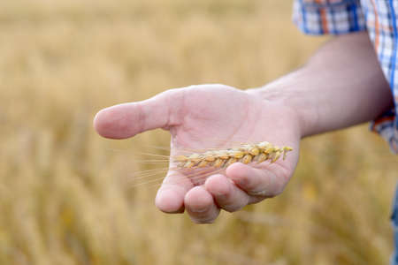 Agronomist holding rye ear on a palm Stock Photo - 21693103