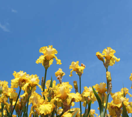 Flowers of bearded iris against blue sky