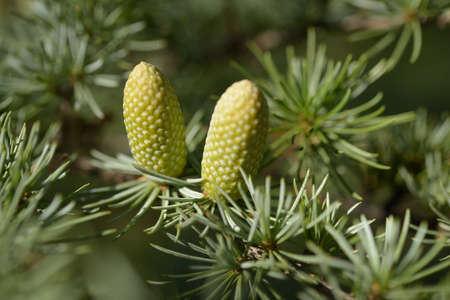 Pollen cones of Atlas cedar closeup Banque d'images