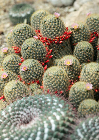 cactus species: Few species of Mammillaria cactus