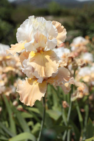 bearded iris: Flower of bearded iris closeup Stock Photo