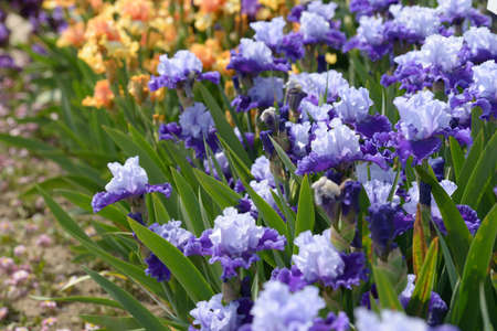 bearded iris: Flowers of bearded iris on a flower bed