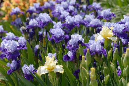 bearded iris: Flowers of bearded iris on a flower bed