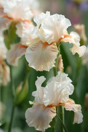 Flower of bearded iris closeup photo