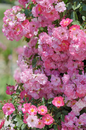 Bush of pink climbing roses in a garden photo