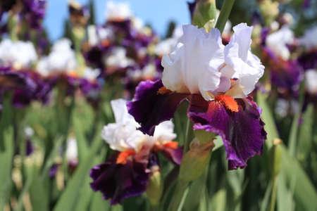 bearded iris: Flowers of bearded iris in a garden