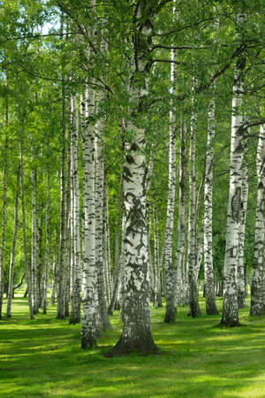 Birchwood forest in a summer day photo