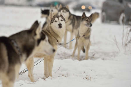 huskies: Huskies before the sled dog racing Stock Photo
