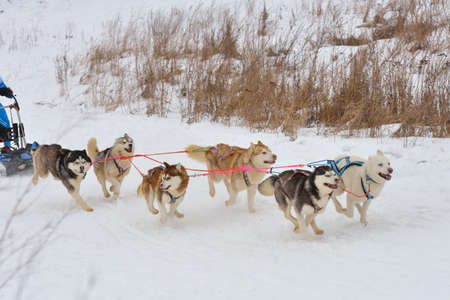 huskies: Huskies during sled dog racing Stock Photo