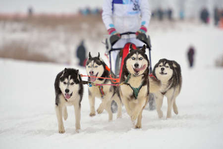 Huskies during sled dog racing photo