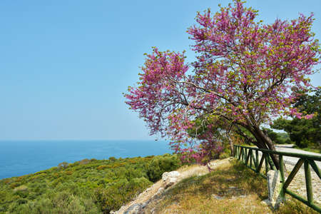 Judas tree against the sea in the Dilek national park, Turkey