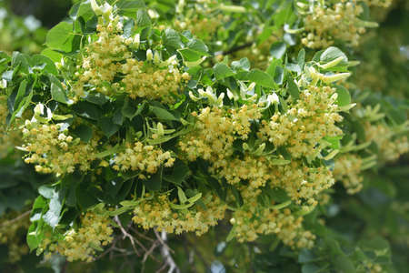 Flowers of Small-leaved Lime photo