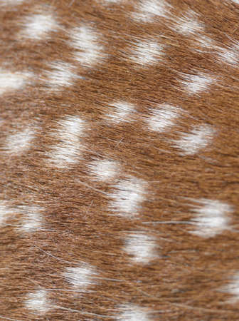 spotted fur: Spotted fur of a sika deer