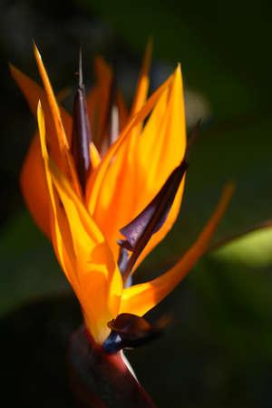 Orange Strelitzia flower in a garden photo