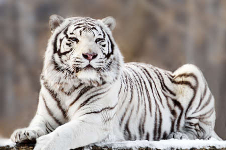 bengal tiger: Portrait of lying white tiger Stock Photo
