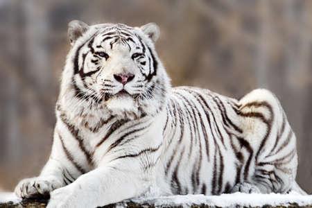 Portret van liegen witte tijger Stockfoto