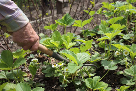 weeding: Mature man weeding and grubbing the strawberry using hand hoe Stock Photo