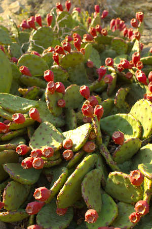 opuntia: Opuntia also known as prickly pears with red fruits