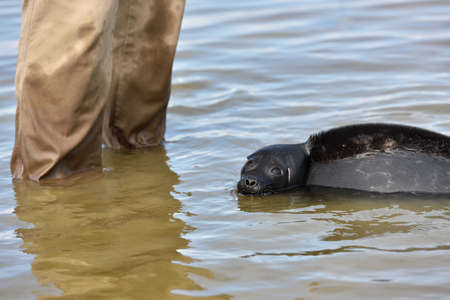 ladoga: Valaam island, Russia - July 29, 2015: Vyacheslav Alekseev releases the Ladoga ringed seal into the lake Ladoga. Animal was cured in the Center of study and conservation of marine mammals