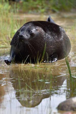 ladoga: Ladoga ringed seal in the lake Ladoga near Valaam island