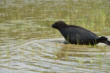 ringed: Ladoga ringed seal in the lake Ladoga near Valaam island