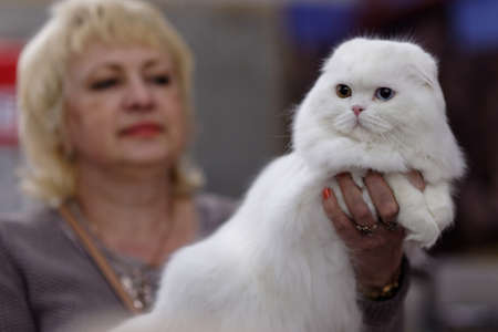 scottish female: St. Petersburg, Russia - October 11, 2015: Female owner with her cat during Scottish fold show in the mall Piterland. The show was held by the World Cat Federation rules