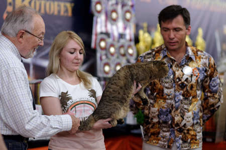 judging: St. Petersburg, Russia - October 11, 2015: Klaas van der Wijk left judging the Scottish fold show in the mall Piterland. The show was held by the World Cat Federation rules