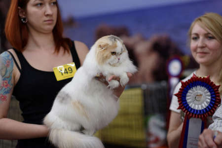 scottish female: St. Petersburg, Russia - October 11, 2015: Female owner with the cat during Scottish fold show in the mall Piterland. The show was held by the World Cat Federation rules Editorial