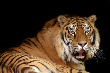 yellow tigers: Lying tiger against black background Stock Photo
