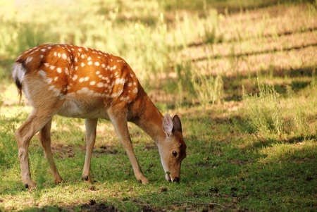 sika deer: Sika deer, also known as Japanese deer on a glade Stock Photo