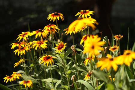 coneflowers: Yellow coneflowers in a garden