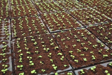 black soil: Growing seedlings in black soil background