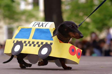 St. Petersburg, Russia - May 28, 2016: Dog in costume of taxi during Dachshund parade. The traditional festival is timed to the City day