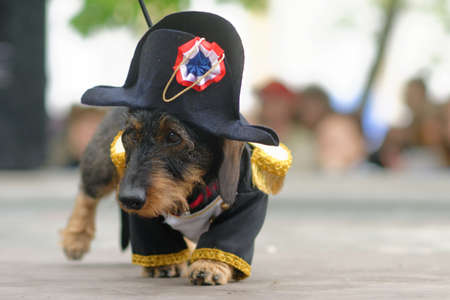 epaulettes: St. Petersburg, Russia - May 28, 2016: Dog in costume of Napoleon during Dachshund parade. The traditional festival is timed to the City day